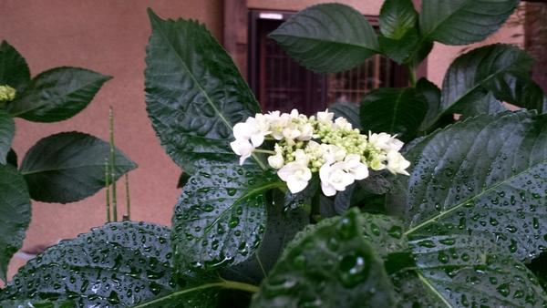 咲き始めました2015サムネイル